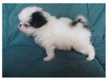 Japanese Chin puppies ready