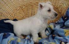 Westie Puppies For Adoption