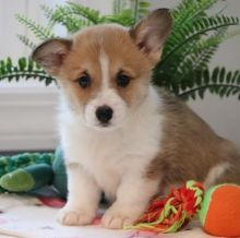 CHARMING C.K.C PEMBROKE WELSH CORGI PUPPIES FOR ADOPTION Image eClassifieds4u 3