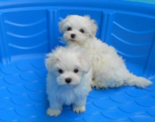 TWO HEALTHY C.K.C MALTESE PUPPIES NOW READY FOR ADOPTION Image eClassifieds4u 2