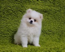 HEALTHY CKC POMERANIAN PUPPIES AVAILABLE FOR A LOVING HOME