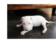 Adorable Bull terrier puppies