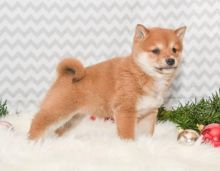 FANTASTIC C.K.C SHIBA INU PUPPIES AVAILABLE FOR ADOPTION Image eClassifieds4u 2