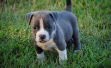 CHAMPION BLUE NOSE AMERICAN PITBULL TERRIER PUPPY FOR ADOPTION