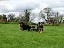 Airedale Terrier puppies ready