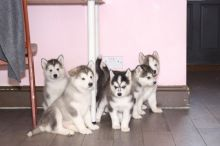 Alaskan Malamute Puppies Ready For New Homes Now!