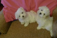 Beautiful white Maltese puppies available!