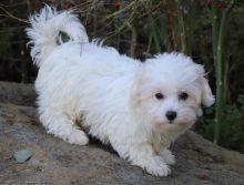 CKC Coton De Tulear puppies!!