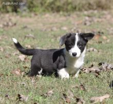 Ckc registered Cardigan Welsh Corgi puppies