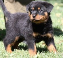 Rottweiler puppies ready