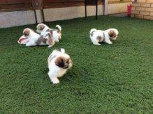 Shih Tzu Puppies with immunization documents