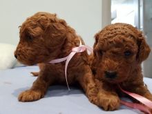 Toy Poodle for a good lovely and caring home
