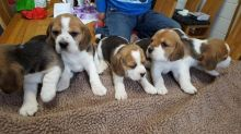 Tricolor Beagle Puppies ready