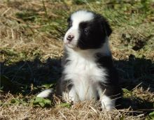 Amazing Border Collie puppies Available