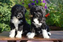 ADORABLE!! Portuguese Water Dog Puppies For Adoption