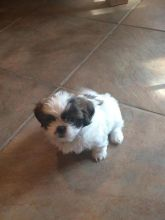 CKC PureBred Shih Tzu Puppies Ready For Good Homes