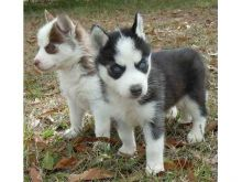 Registered Siberian Husky Puppies With Papers For Adoption