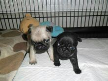 Top Quality Pug Puppies Available For Caring Families