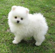 Pomeranian puppies for fast rehoming