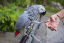 Top quality African Grey Parrot Image eClassifieds4U