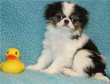 Good Looking Japanese Chin Pups For Sale-Text on ( 204-817-5731)