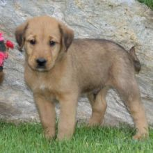 Airedale Terrier Puppies Available