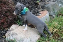 Charming, Elegant, Blue Italian Greyhound Pups Ready Now-Text now (204) 817-5731