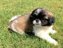 Cute and Cuddly Pekingese Puppies For Sale-Text on ( 204-817-5731)