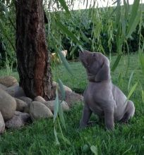 Family Raised Weimaraner Pups Ready For Good Homes-Text now (204) 817-5731