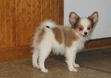 Lovable and Friendly Papillon Pups For Sale -Text on ( 204-817-5731)