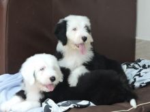 Old English Sheepdog Puppies Ready Now -Text on ( 204-817-5731)