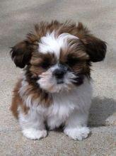 Excellent CKC Shih Tzu Puppies available Text (902) 702-2286
