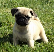two adorable Pug puppies for good homes