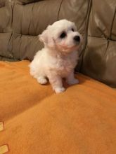 Adorable CKc Reg Bichon Frise Puppies Ready Here!!!Boys and Girls...226-499-6031