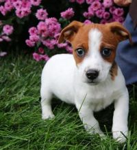Priceless Jack Russell Terrier Puppies For Re-Homing