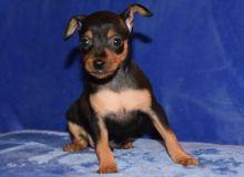 5 beautiful Miniature Pinscher puppies.