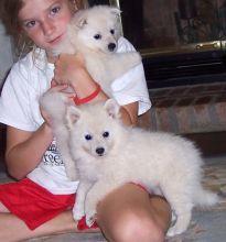 American Eskimo puppies ready