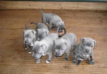 American staffrod puppies