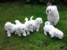 Bichon Frise puppies ready