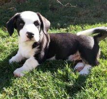 Cardigan Welsh Corgi puppies available.