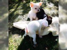 Chihauhua puppies ready