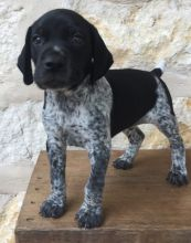 German Short Hair pointer puppies,