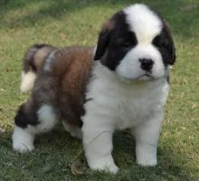 Home Trained Saint Bernard puppies ready for news home -