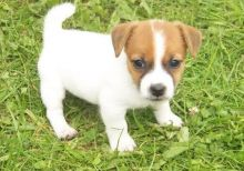 Jack Russell puppies ready!!!!