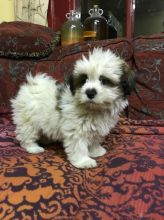 Lhasa Apso puppies 2 males and 2 females