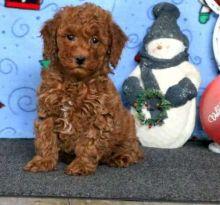 Miniature Poodle puppies (marcbradly1975@gmail.com)