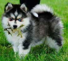 Smart Pomsky Puppies