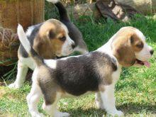 Super adorable Beagle puppies.