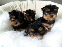 Adorable Yorkie puppies available Image eClassifieds4u 2