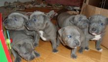 American staffrod puppies Image eClassifieds4u 2
